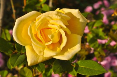Front-door rose.